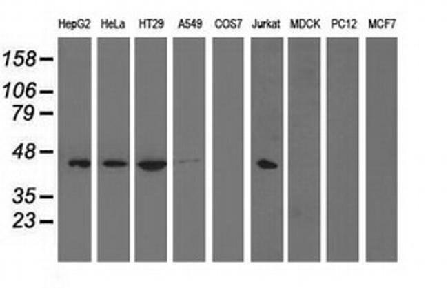 PAICS Mouse anti-Human, Clone: OTI8A1, liquid, TrueMAB  100 µL; Unconjugated