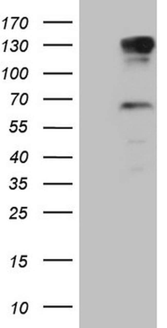 PARG Mouse anti-Human, Clone: OTI1B5, lyophilized, TrueMAB  100 µg;