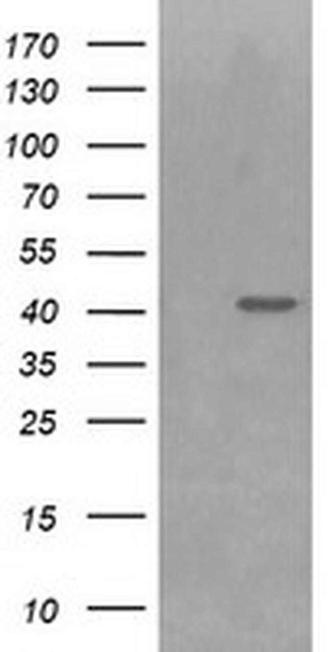 PARVA Mouse anti-Canine, Human, Mouse, Clone: OTI3C3, liquid, TrueMAB