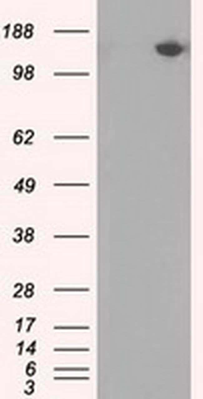 PASK Mouse anti-Human, Clone: OTI11D8, liquid, TrueMAB  100 µL; Unconjugated