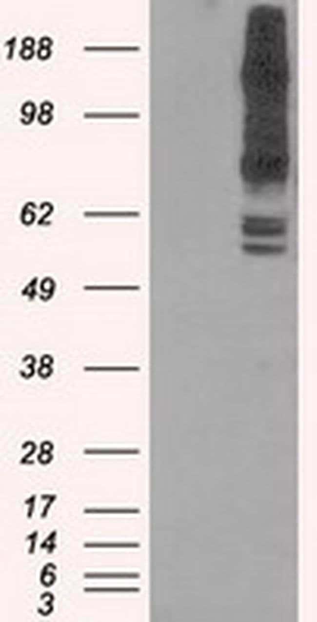 PASK Mouse anti-Human, Clone: OTI11G9, liquid, TrueMAB  100 µL; Unconjugated