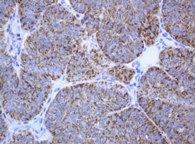 PCDH7 Mouse anti-Human, Clone: OTI1A2, liquid, TrueMAB  100 µL; Unconjugated