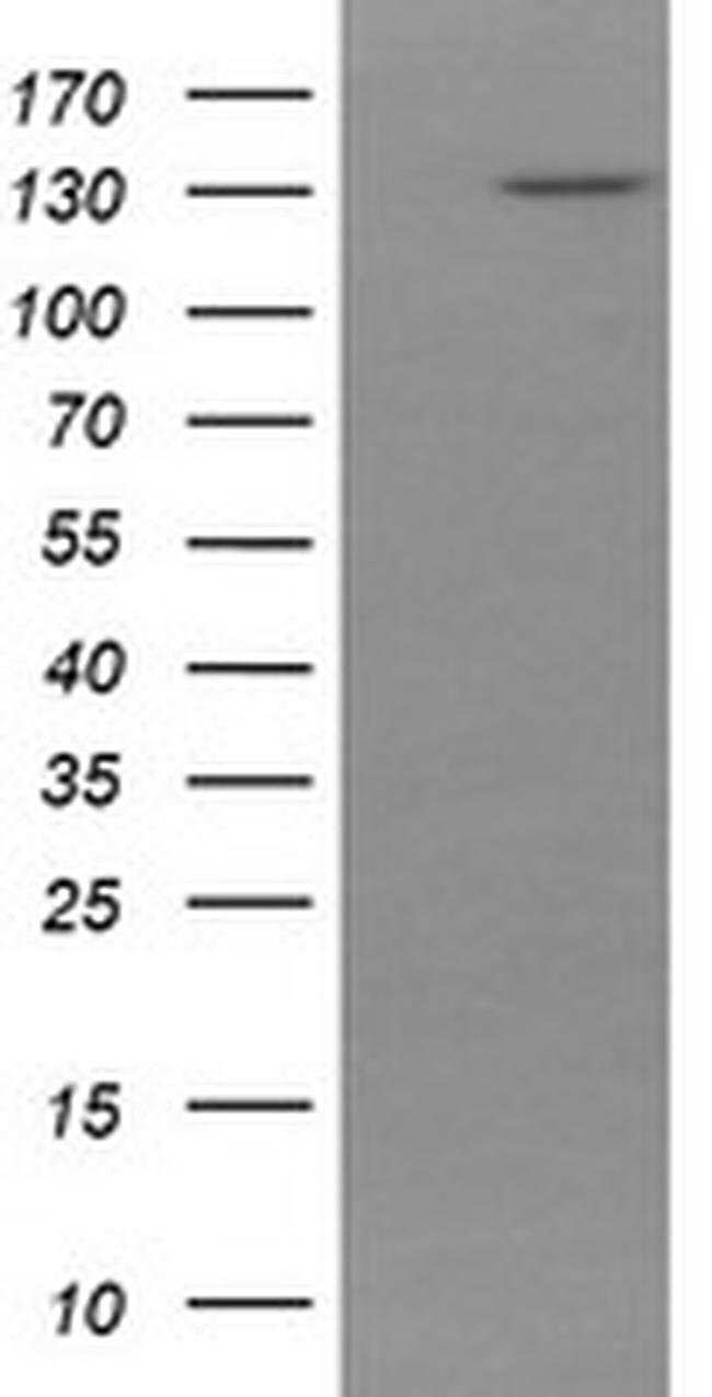 PCDH7 Mouse anti-Human, Clone: OTI2C2, liquid, TrueMAB  100 µL; Unconjugated