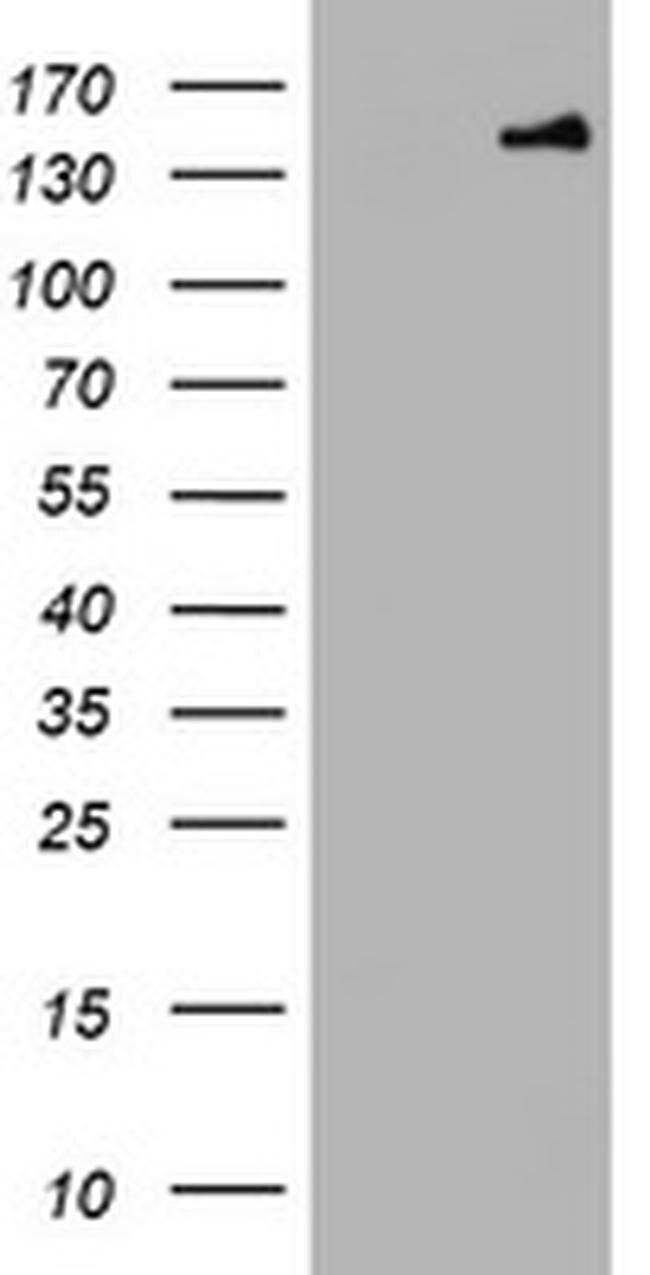 PCDH7 Mouse anti-Human, Clone: OTI3D1, liquid, TrueMAB  100 µL; Unconjugated