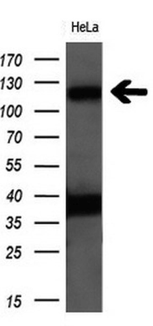 PCDH7 Mouse anti-Human, Clone: OTI2B12, liquid, TrueMAB  100 µL; Unconjugated