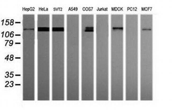 PCDH7 Mouse anti-Canine, Human, Mouse, Clone: OTI2G6, liquid, TrueMAB
