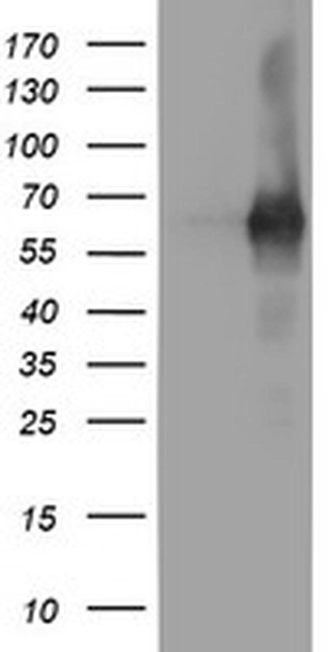 PDE1B Mouse anti-Human, Clone: OTI6E4, liquid, TrueMAB  100 µL; Unconjugated