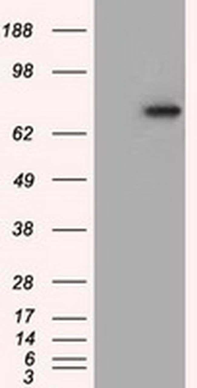 PDE4A Mouse anti-Human, Clone: OTI7D11, liquid, TrueMAB  100 µL; Unconjugated