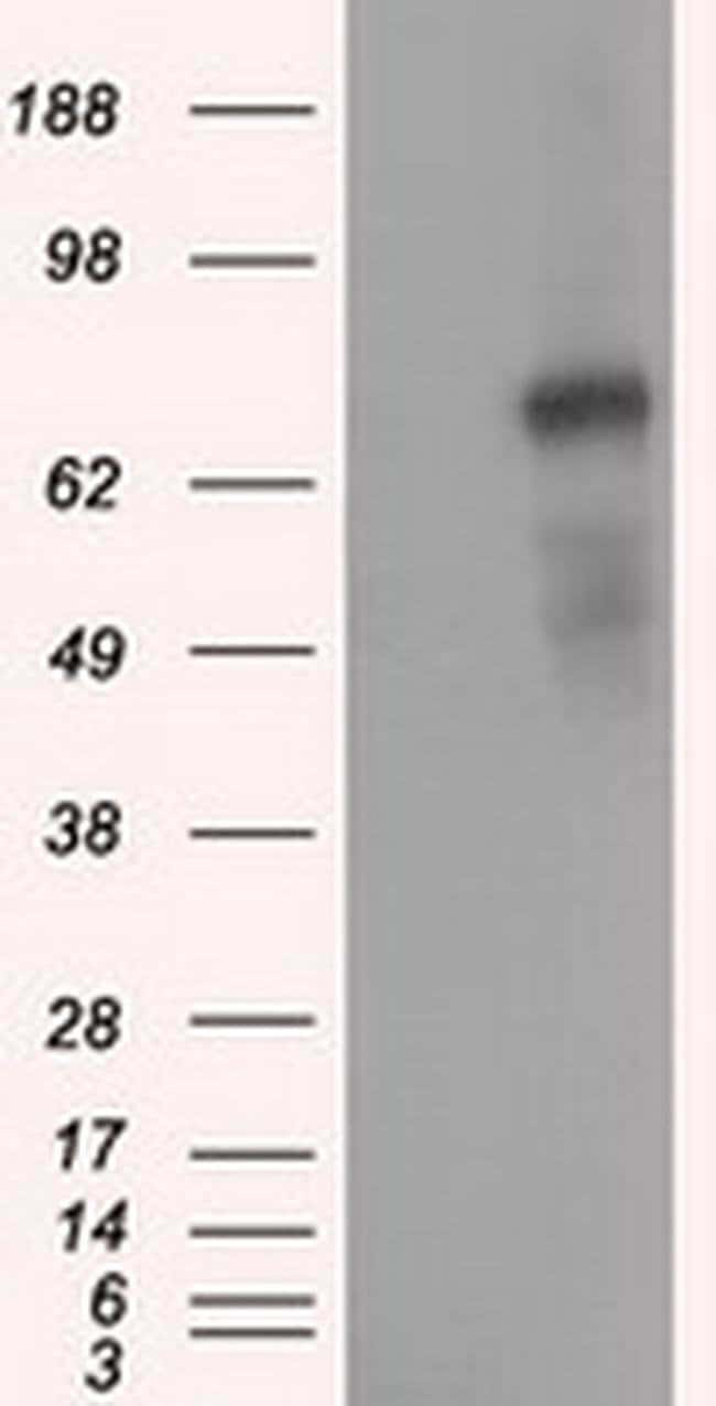 PDE4A Mouse anti-Human, Clone: OTI6B6, liquid, TrueMAB  30 µL; Unconjugated