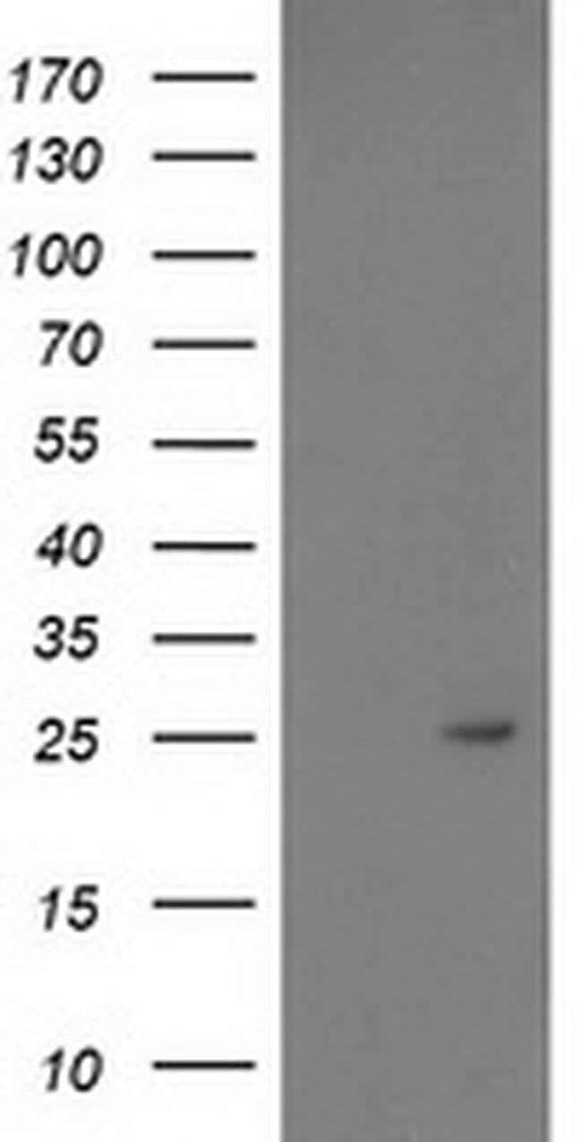 PDF Mouse anti-Human, Clone: OTI3C12, liquid, TrueMAB  100 µL; Unconjugated