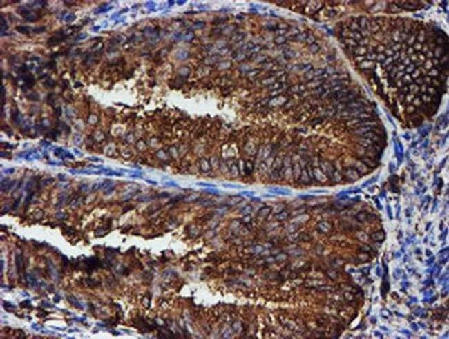 PDIA4 Mouse anti-Human, Mouse, Clone: OTI2A11, liquid, TrueMAB  100 µL;