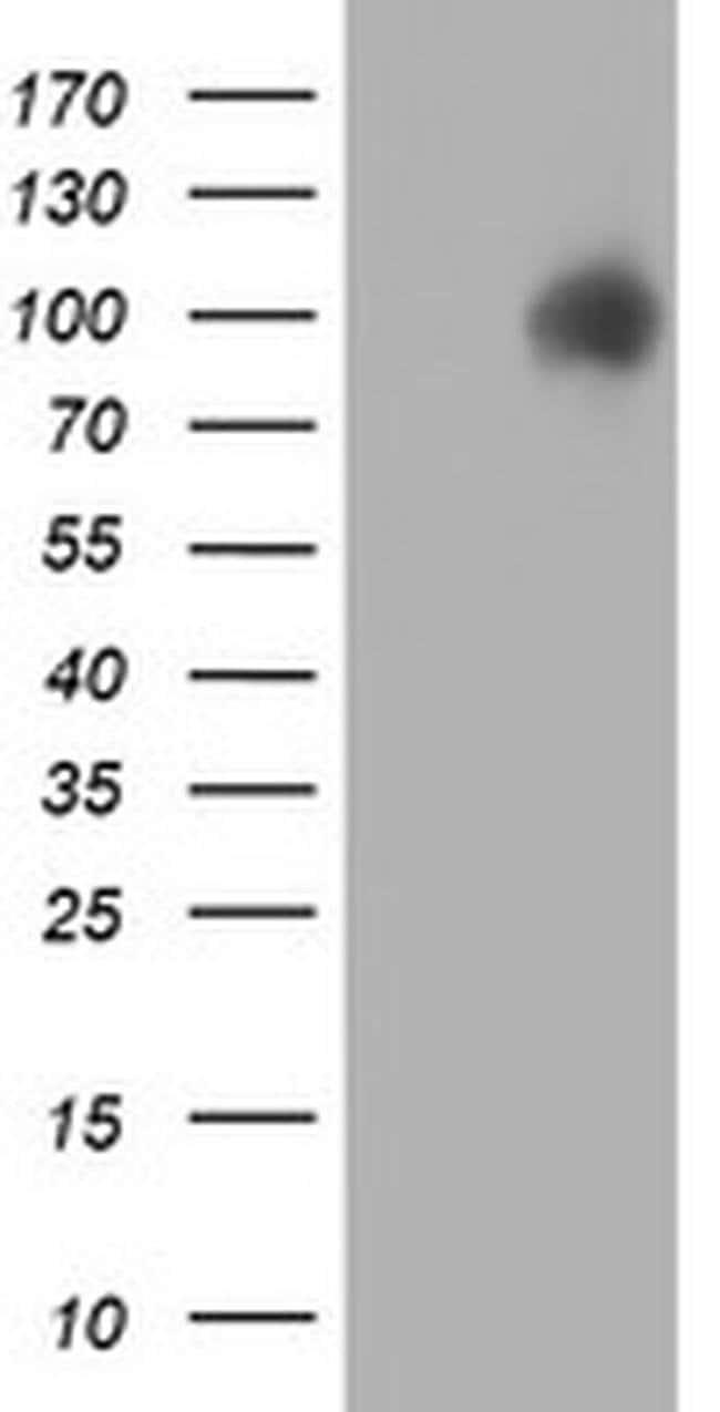 PDIA4 Mouse anti-Canine, Human, Rat, Clone: OTI2B9, liquid, TrueMAB  100