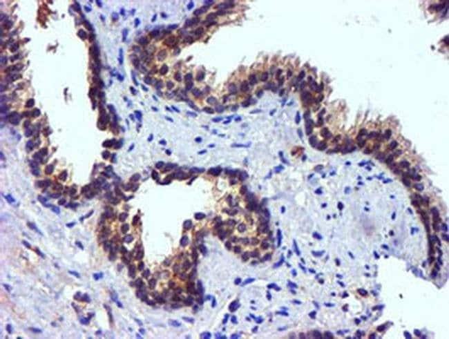 PDSS2 Mouse anti-Human, Clone: OTI1D10, liquid, TrueMAB  100 µL; Unconjugated
