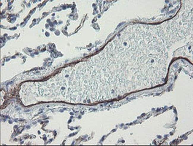 PECAM1 Mouse anti-Human, Clone: OTI2A4, liquid, TrueMAB  100 µL; Unconjugated