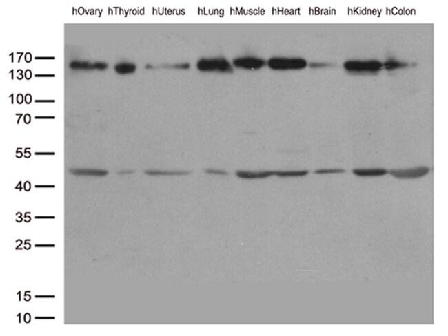 PECAM1 Mouse anti-Canine, Human, Clone: OTI1H6, liquid, TrueMAB  100 µL;