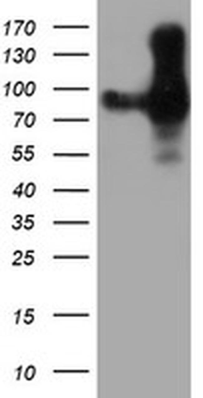 PECAM1 Mouse anti-Human, Clone: OTI4C1, liquid, TrueMAB  100 µL; Unconjugated