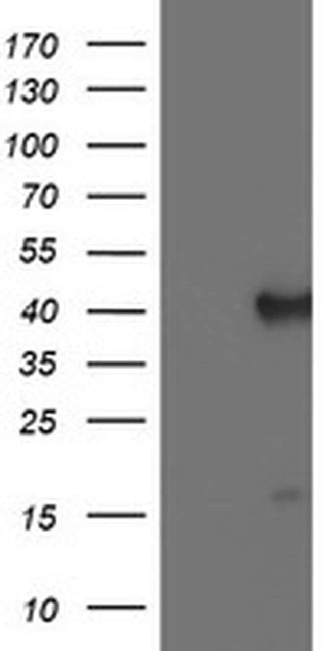 PECI Mouse anti-Human, Clone: OTI1H4, liquid, TrueMAB  100 µL; Unconjugated