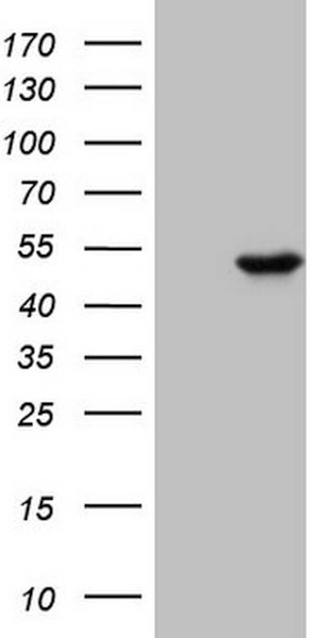 PELI1 Mouse anti-Human, Clone: OTI10D1, lyophilized, TrueMAB  100 µg;