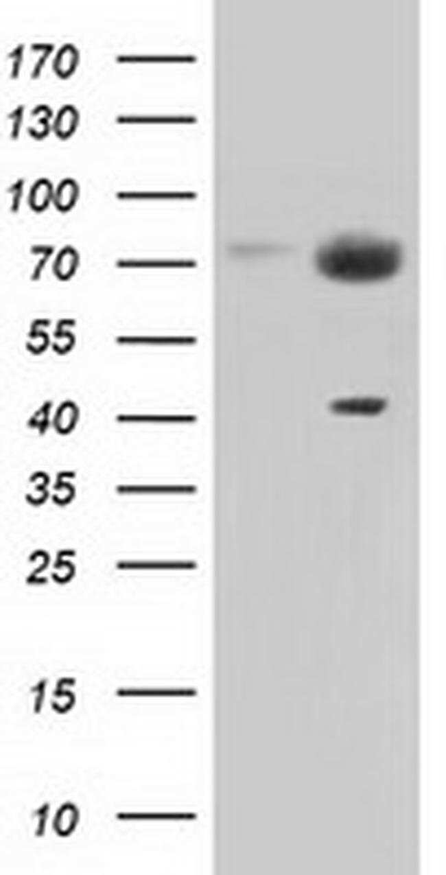 PEX5 Mouse anti-Canine, Human, Clone: OTI1D3, liquid, TrueMAB  100 µL;