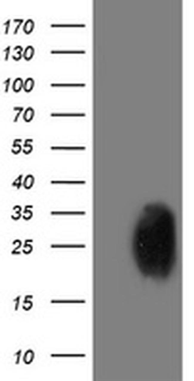 PGAM2 Mouse anti-Canine, Human, Mouse, Rat, Clone: OTI2F5, liquid, TrueMAB