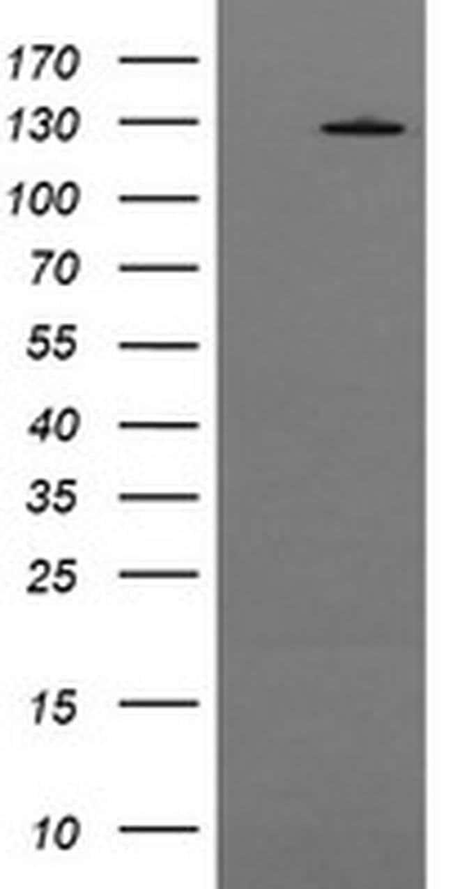 PIK3CG Mouse anti-Human, Clone: OTI4H9, liquid, TrueMAB  100 µL; Unconjugated