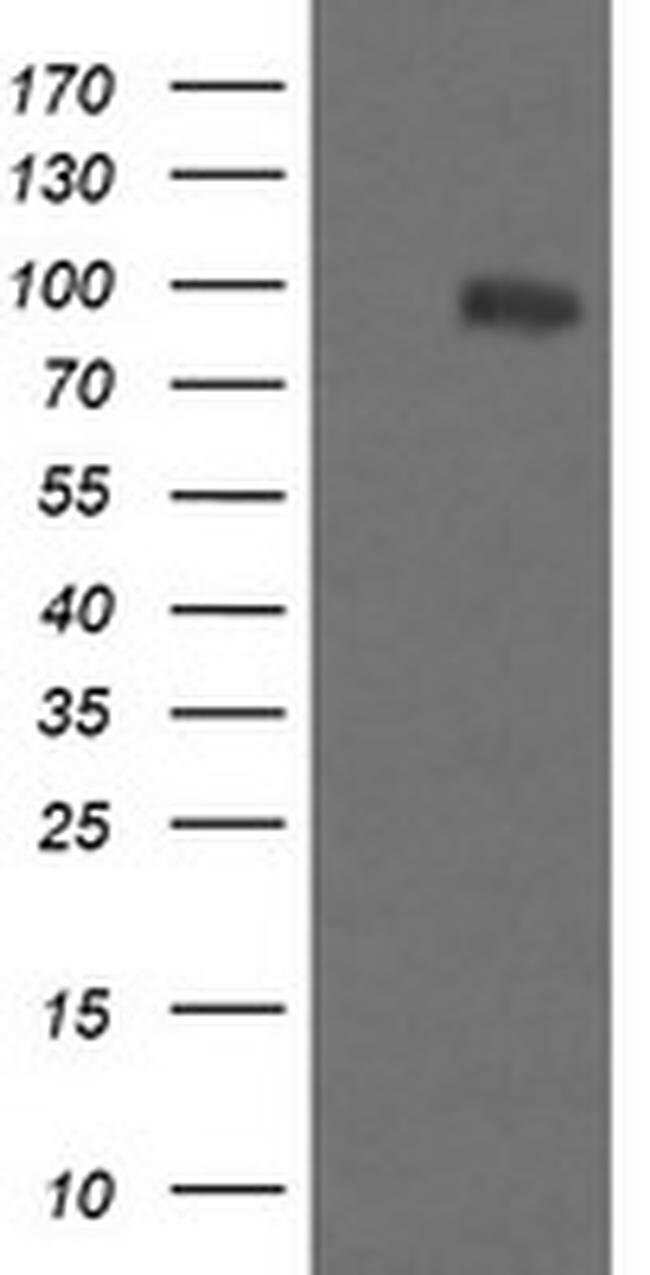 PIK3R5 Mouse anti-Canine, Human, Mouse, Rat, Clone: OTI4G9, liquid, TrueMAB
