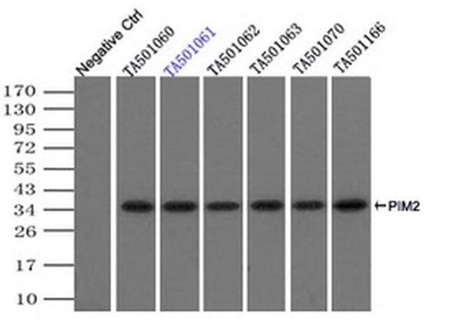 PIM2 Mouse anti-Human, Clone: OTI5B5, liquid, TrueMAB  100 µL; Unconjugated