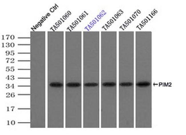 PIM2 Mouse anti-Human, Clone: OTI8B4, liquid, TrueMAB  100 µL; Unconjugated