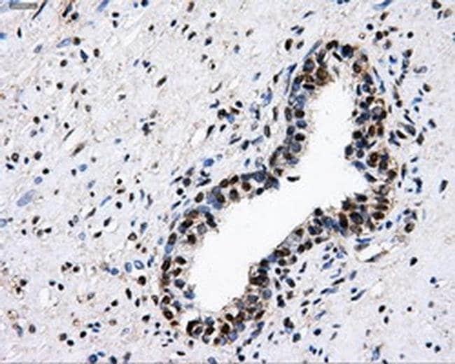 PKMYT1 Mouse anti-Human, Clone: OTI5E1, liquid, TrueMAB  100 µL; Unconjugated
