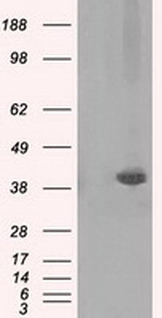 PLEK Mouse anti-Human, Clone: OTI2D11, liquid, TrueMAB  100 µL; Unconjugated