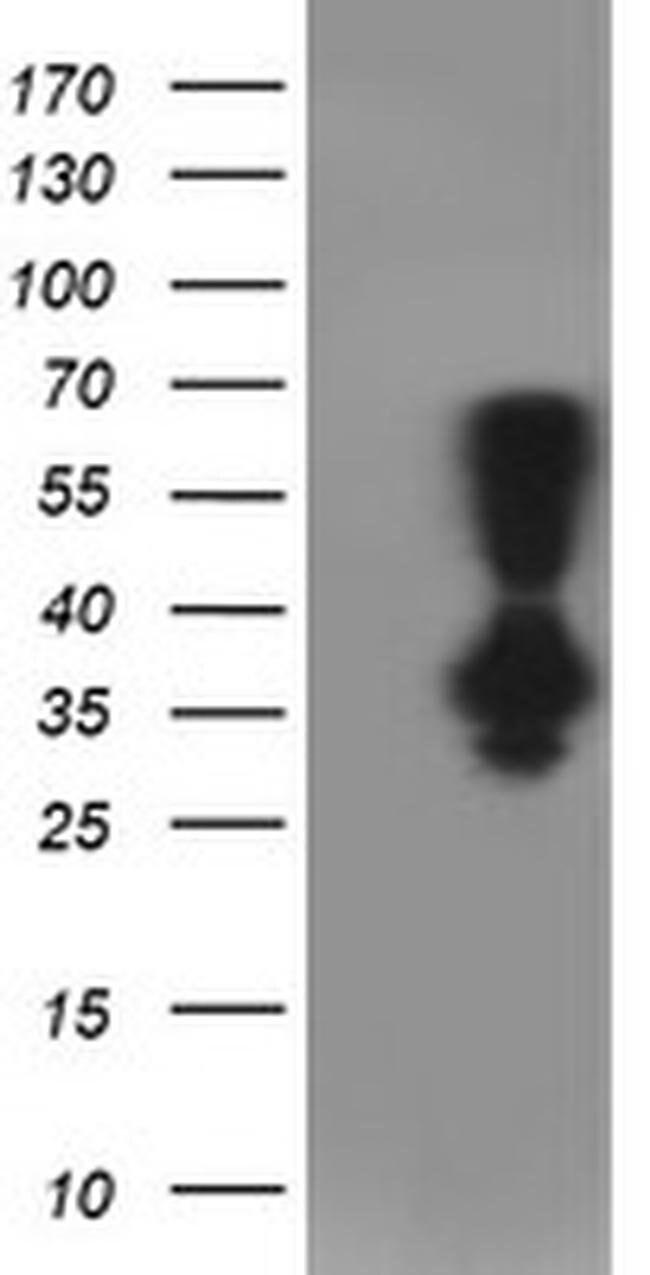 PNMT Mouse anti-Canine, Human, Mouse, Rat, Clone: OTI1D2, liquid, TrueMAB