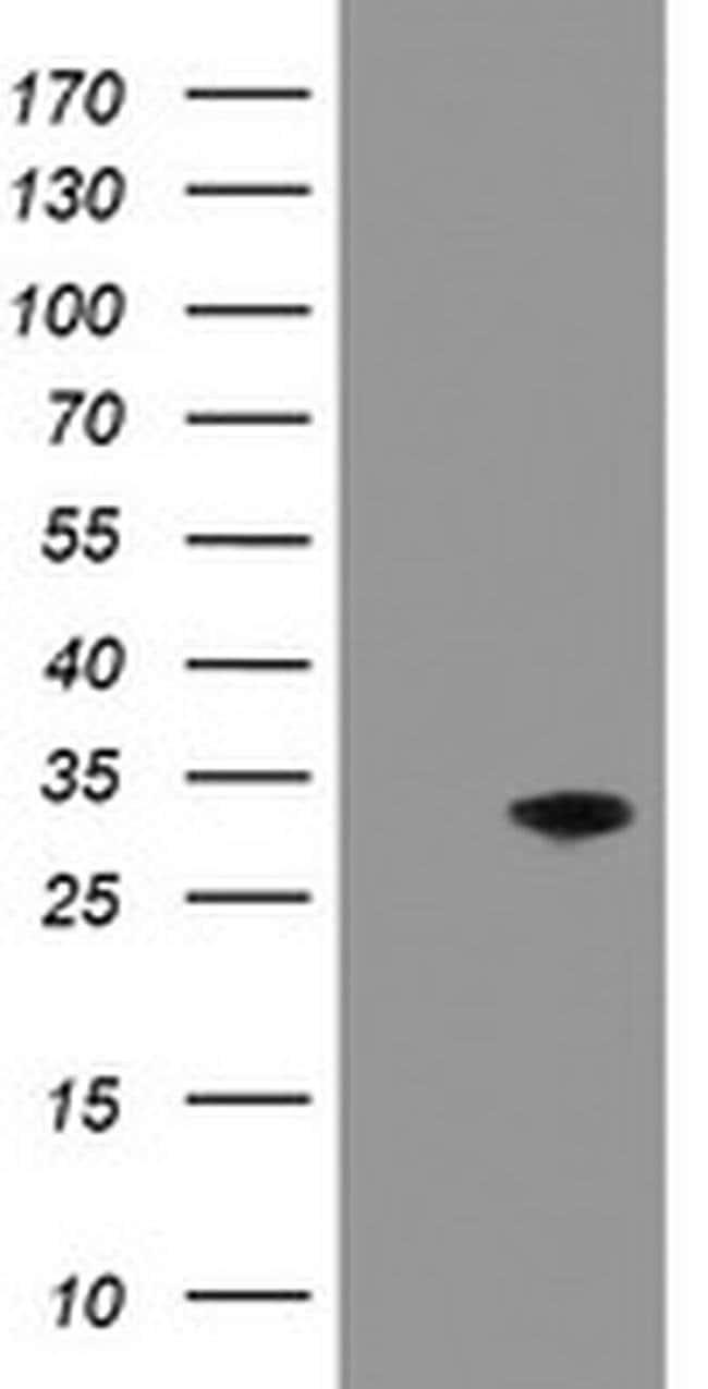 PNPO Mouse anti-Human, Clone: OTI1G9, liquid, TrueMAB  100 µL; Unconjugated