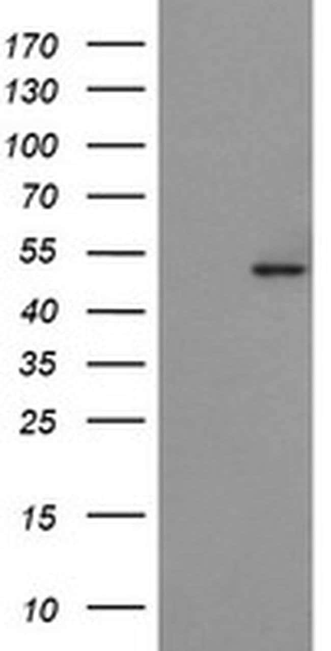POFUT2 Mouse anti-Human, Clone: OTI1A6, liquid, TrueMAB  100 µL; Unconjugated