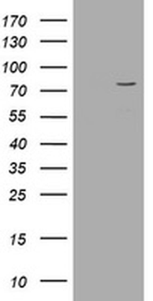 POGK Mouse anti-Human, Clone: OTI6D5, liquid, TrueMAB  100 µL; Unconjugated