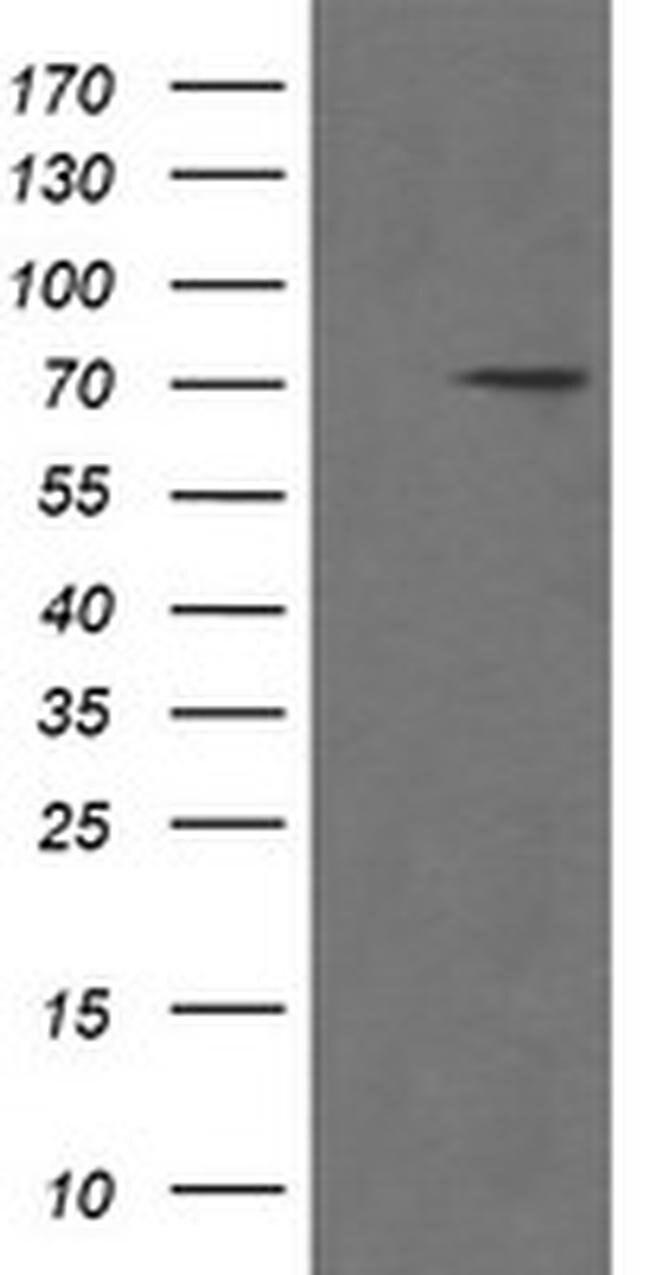 POGK Mouse anti-Human, Clone: OTI2G8, liquid, TrueMAB  100 µL; Unconjugated