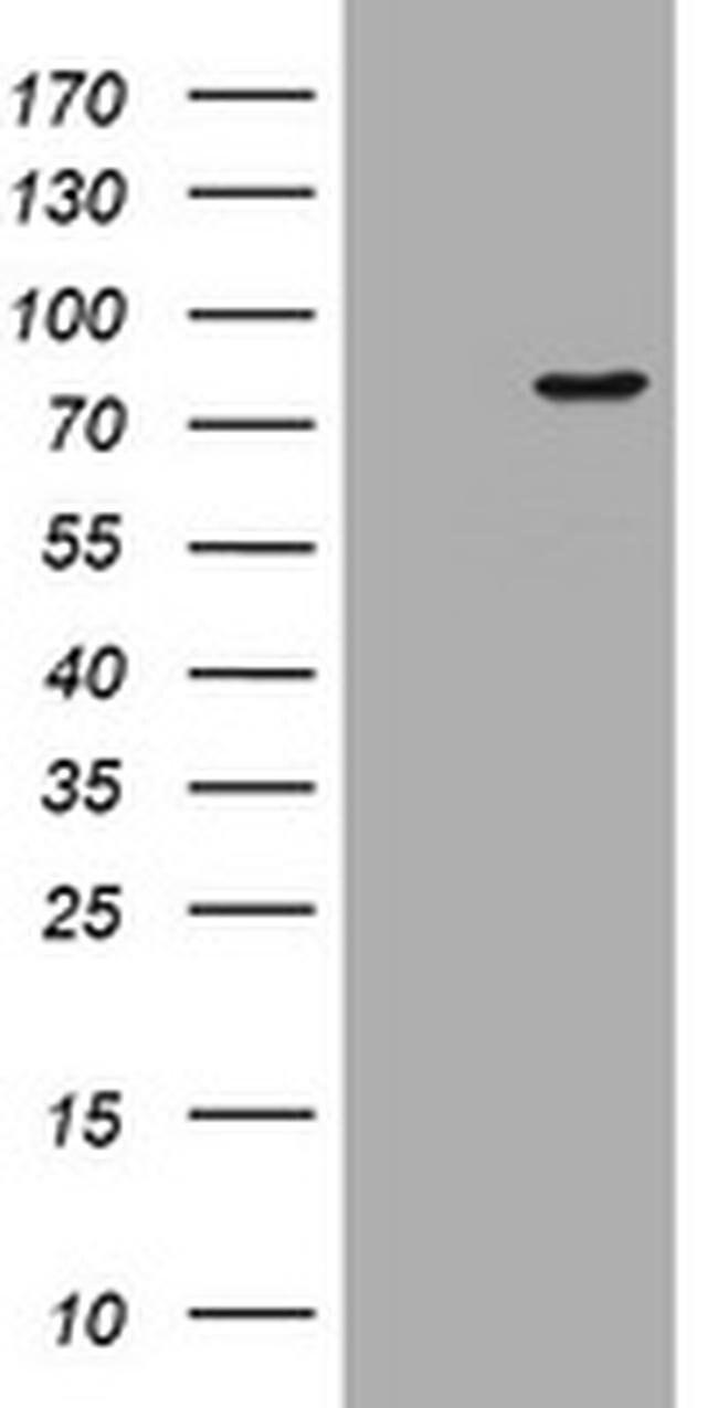 POGK Mouse anti-Human, Clone: OTI3E2, liquid, TrueMAB  100 µL; Unconjugated
