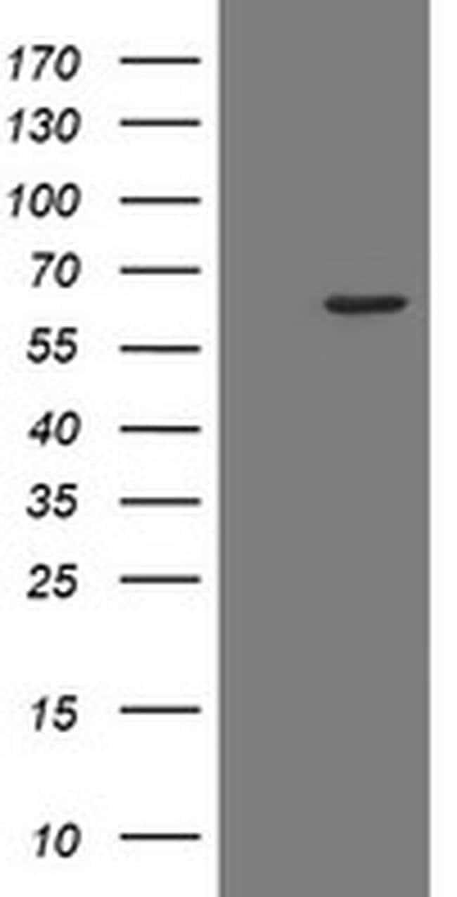 POLR3C Mouse anti-Human, Clone: OTI2H1, liquid, TrueMAB  100 µL; Unconjugated