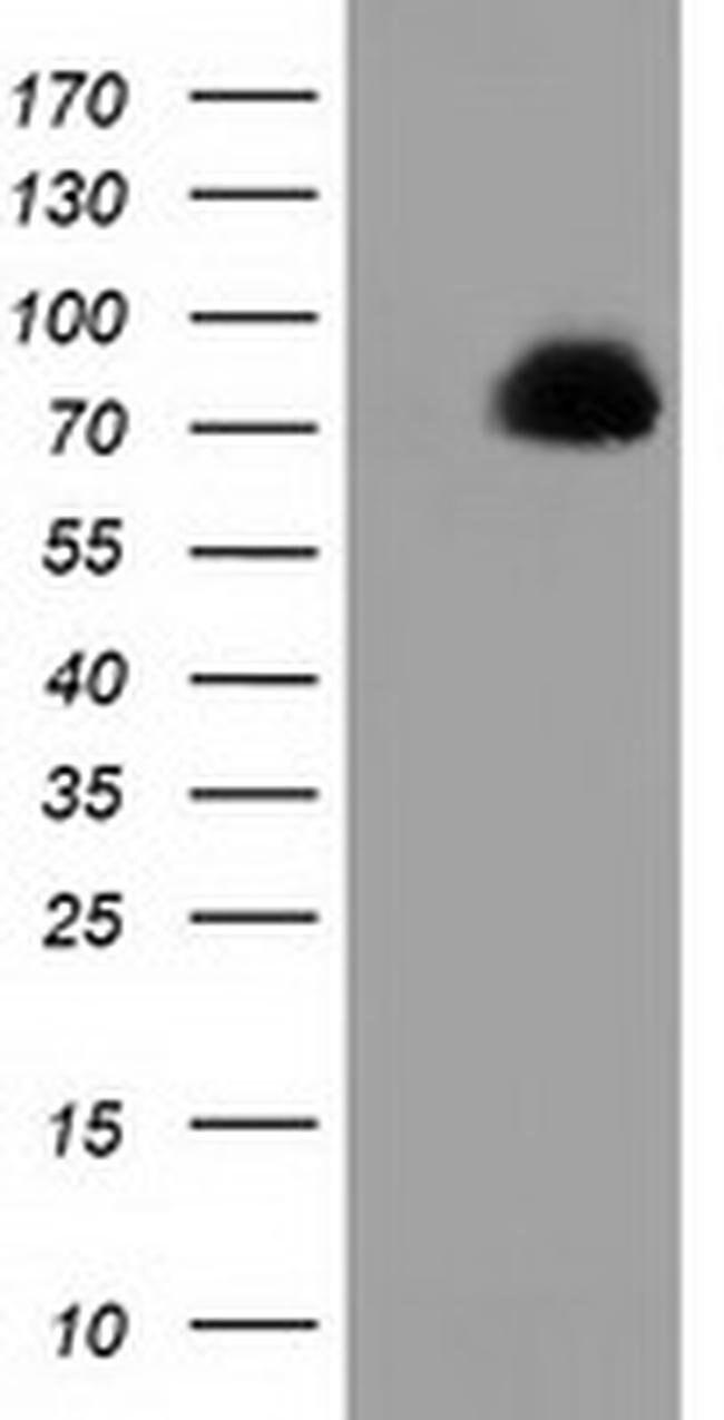 PPWD1 Mouse anti-Human, Clone: OTI1B2, liquid, TrueMAB  100 µL; Unconjugated