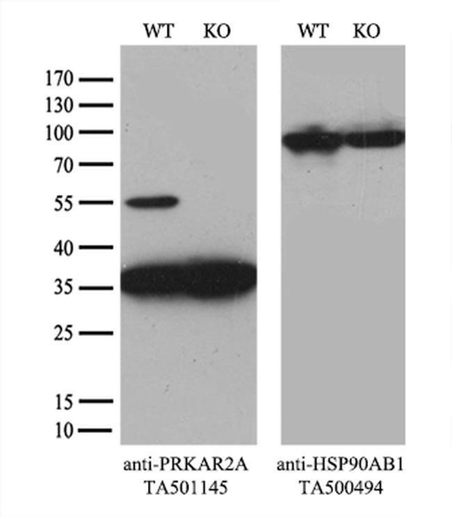 PRKAR2A Mouse anti-Human, Clone: OTI4H8, liquid, TrueMAB  100 µL;