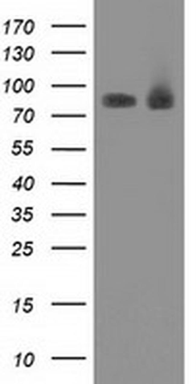 PRKCE Mouse anti-Canine, Human, Clone: OTI4B3, liquid, TrueMAB  100 µL;