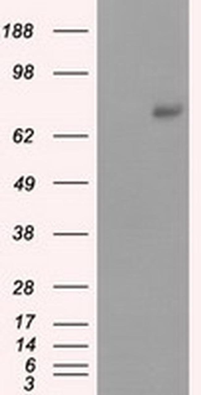 PRKG1 Mouse anti-Human, Clone: OTI9G4, liquid, TrueMAB  100 µL; Unconjugated