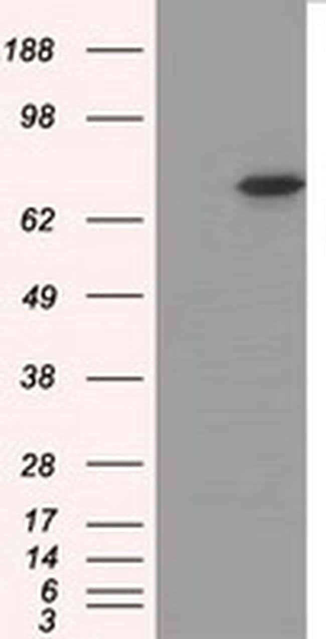 PRKG1 Mouse anti-Human, Clone: OTI9A4, liquid, TrueMAB  100 µL; Unconjugated