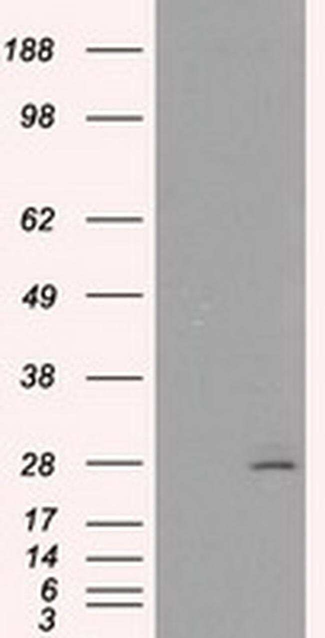 PRL Mouse anti-Human, Clone: OTI11B11, liquid, TrueMAB  100 µL; Unconjugated