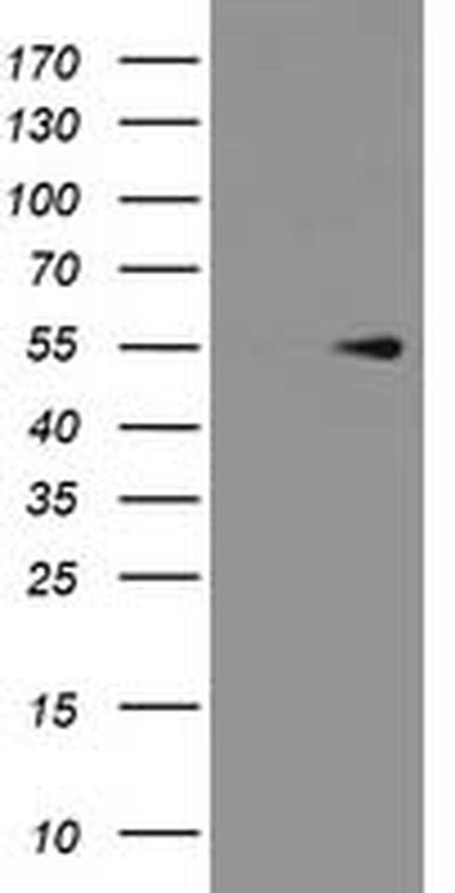 PRMT2 Mouse anti-Human, Clone: OTI4C3, liquid, TrueMAB  100 µL; Unconjugated