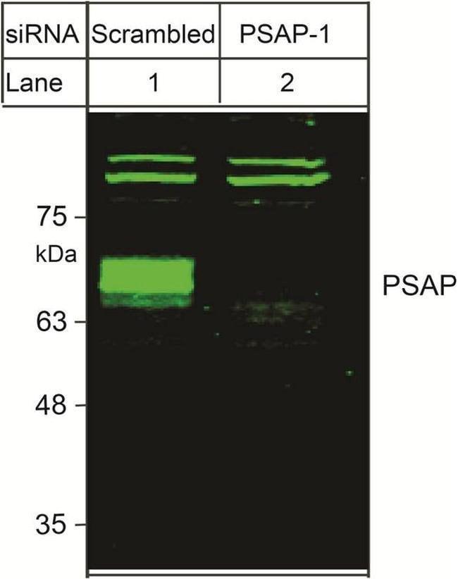 PSAP Rabbit anti-Human, Polyclonal, Invitrogen 100 µL; Unconjugated