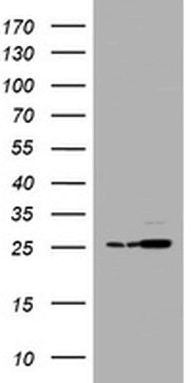 PSMA2 Mouse anti-Canine, Human, Mouse, Rat, Clone: OTI3B3, liquid, TrueMAB