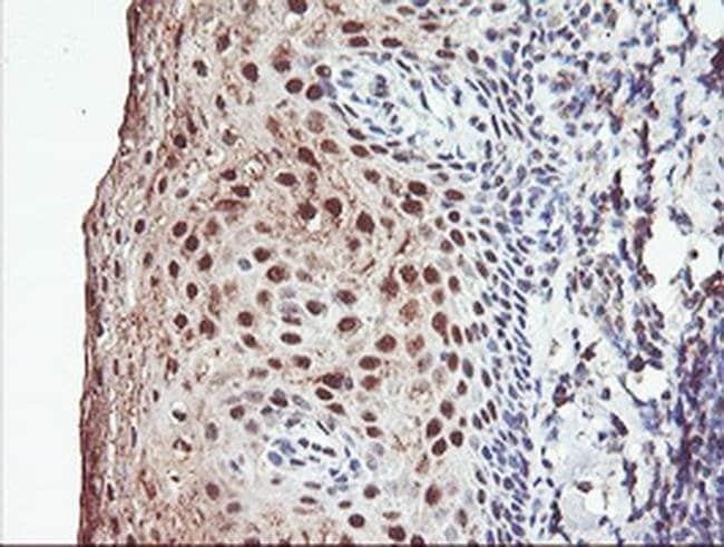 PSMB7 Mouse anti-Human, Mouse, Clone: OTI1D1, liquid, TrueMAB  100 µL;