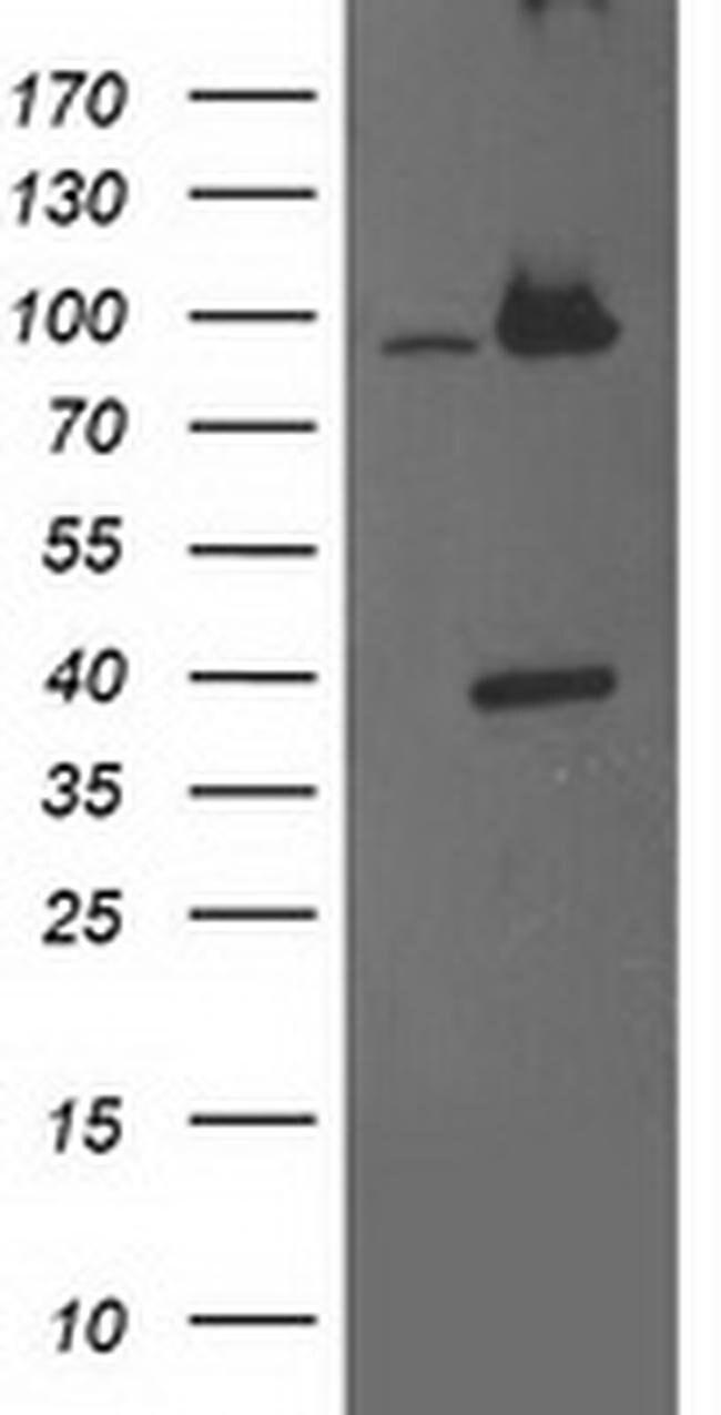 PSMD2 Mouse anti-Human, Clone: OTI1A12, liquid, TrueMAB  100 µL; Unconjugated