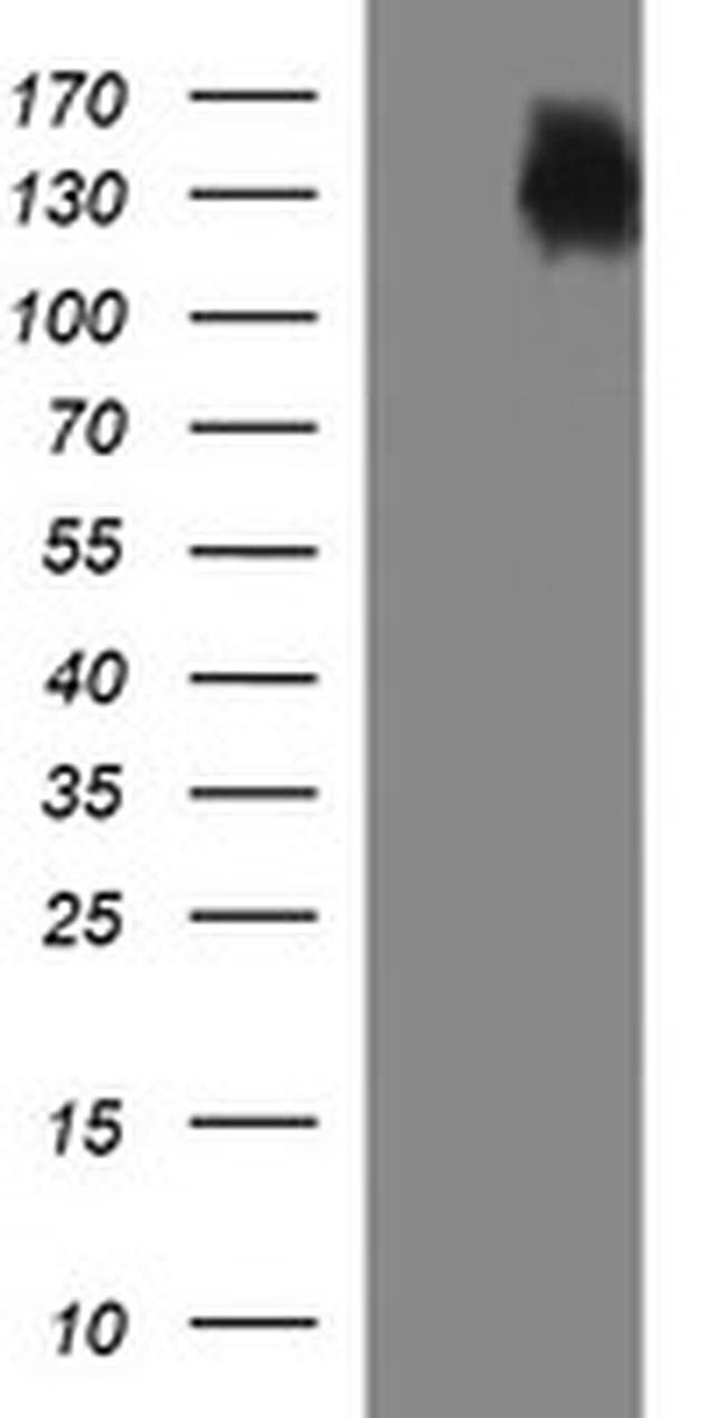 PTPRC Mouse anti-Human, Clone: OTI2E7, liquid, TrueMAB  100 µL; Unconjugated