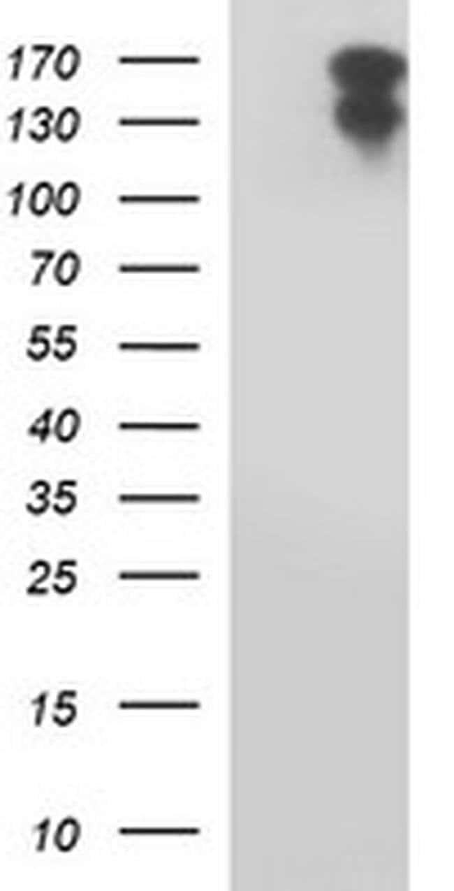 PTPRC Mouse anti-Human, Clone: OTI2H1, liquid, TrueMAB  100 µL; Unconjugated
